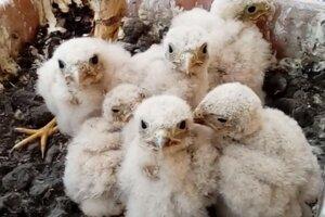 V tomto roku sa sokolí párik stará o päť mláďat.