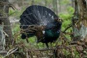 Hlucháň patrí medzi najrýchlejšie ubúdajúce lesné druhy a zaradili ho do kategórie vážne ohrozených v rámci červeného zoznamu vtákov.