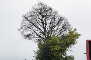 Vyschnutá koruna stromu.