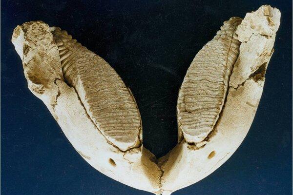 Sánka pleistocénneho megacicavca mamuta srstnatého.