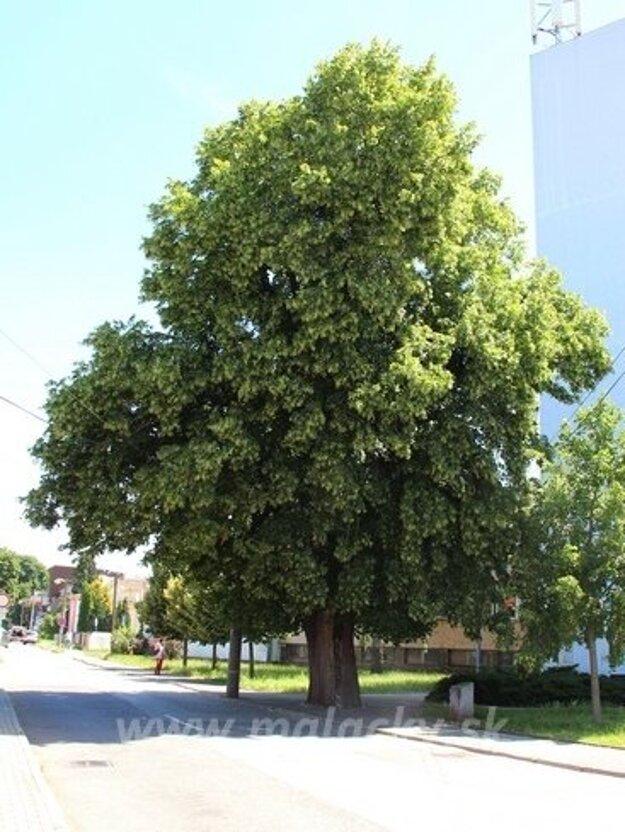 Pállfyovská lipa sa uchádza o titul Strom roka 2020