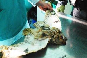 Myšiarka ušatá počas veterinárnej prehliadky.