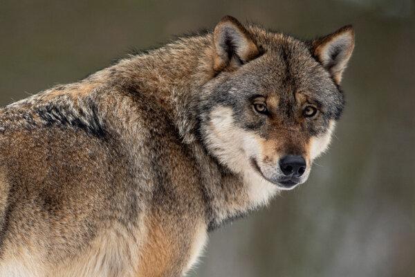 Vlk dravý.