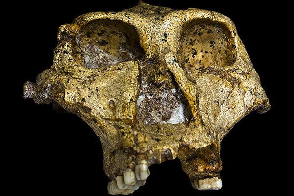 lebka Prantropa robustného z lokality Swartkrans. Jedince z tejto oblasti mali robustnejšie čeľuste ako ich predchodcovia.