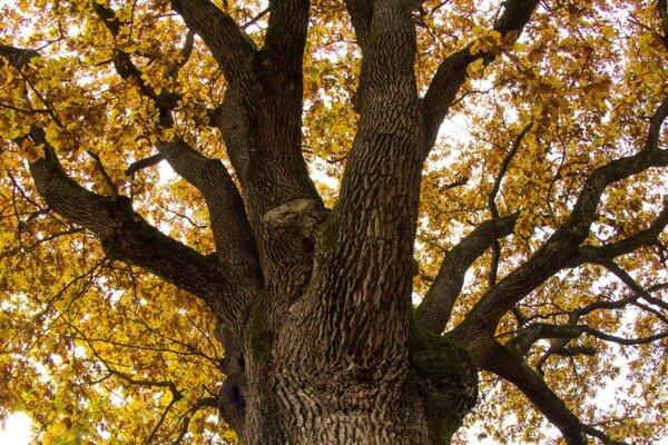 Víťazný strom rastie v Drnave.