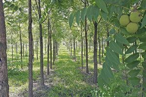 Plantáž orecha čierneho po siedmich rokoch.