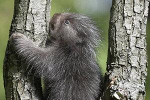 Mláďa urzona stromového.