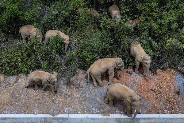 Črieda divých slonov, ktorá ušla z prírodnej rezervácie v číne, na záber z konca mája.