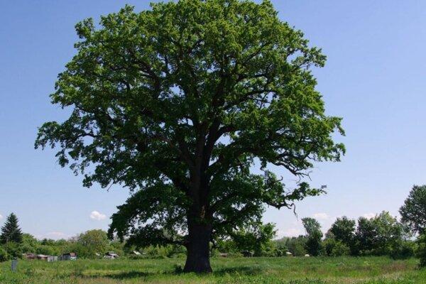 Tento dub má vyše 370 rokov.