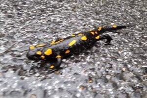 Nafotili aj salamandra.