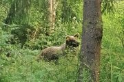Medvedica v Žiarskej doline.