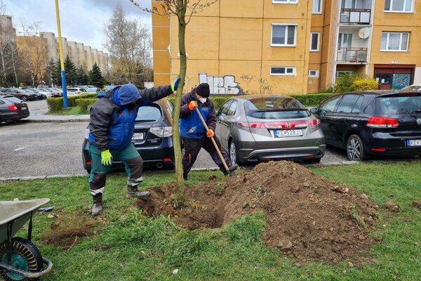 Nové stromy v Košiciach stále pribúdajú.