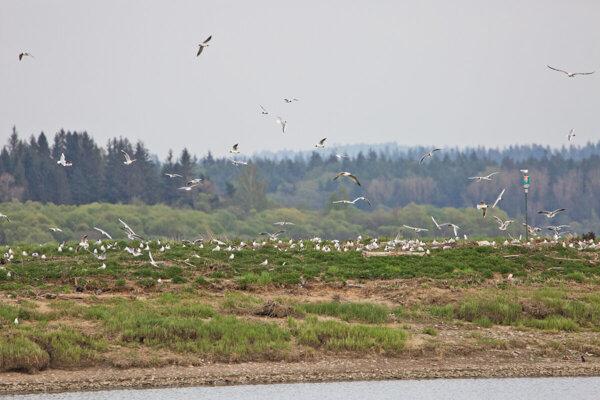 Už jeden Vtáčí ostrov Oravská priehrada má.