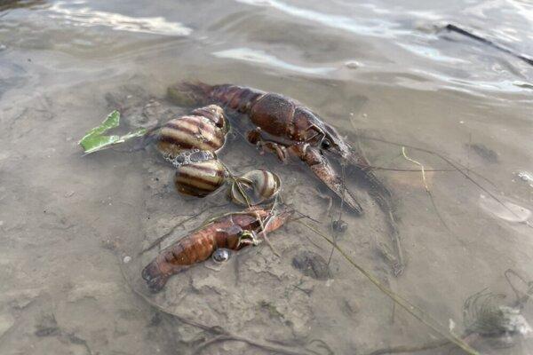 Pri manipulácii s vodnou hladinou uhynuli raky a ryby.