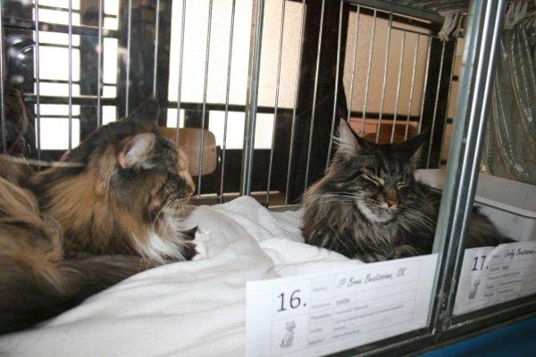 Návštevníci sa môžu tešiť na najrôznejšie plemená mačiek.