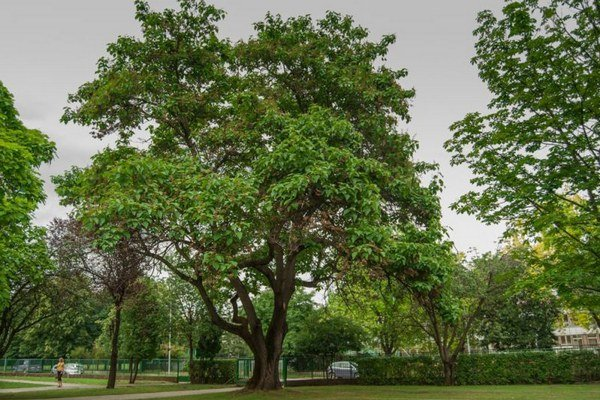 Pavlovnia plstnatá rastie v areáli SPŠ stavebnej už päťdesiat rokov.