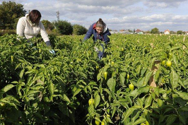 Poľnohospodári tento rok pestujú menej zeleniny.