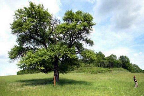 Víťazný strom ošetria