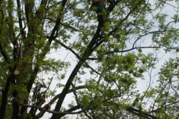 O údržbu vzácneho stromu sa viackrát postarali odborníci.