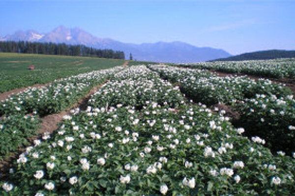 Pestovaniu zemiakov zrejme na Kysuciach úplne odzvoní.