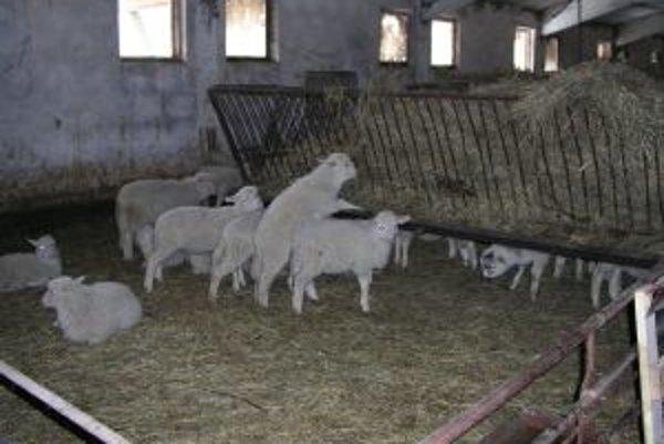 Ovce sa museli z pastvísk presťahovať do stajní.