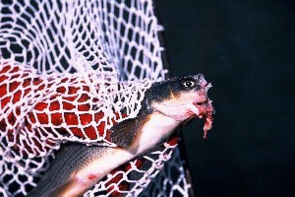 Takto vyzerali ryby po vyčíňaní pytliakov.