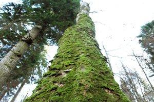 Neďaleko skanzenu sa nachádza aj známy Dobročský prales.