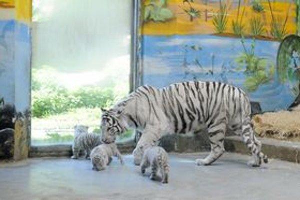 Malé tigríčatá je od dnes možné vidieť v zoo