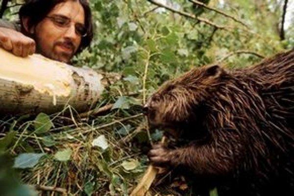 Po bobrovi zostali v Petržalke obhryzené stromy. Fotografia bobra sa podarí málokomu, napríklad dokumentaristovi Tomášovi Hulíkovi.