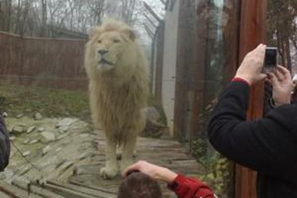 Lev čakal na svoj balíček pár centimetrov od skla výbehu. Dostal mäso, zabalené v srsti so slamou, aby mu pach balíčka pripomínal skutočnú korisť.