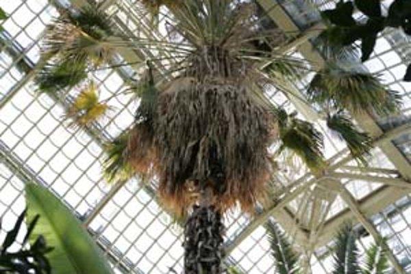 Palma v Schönbrunne má 170 rokov, do najväčšieho skleníka v Európe ju doviezli v roku 1882.