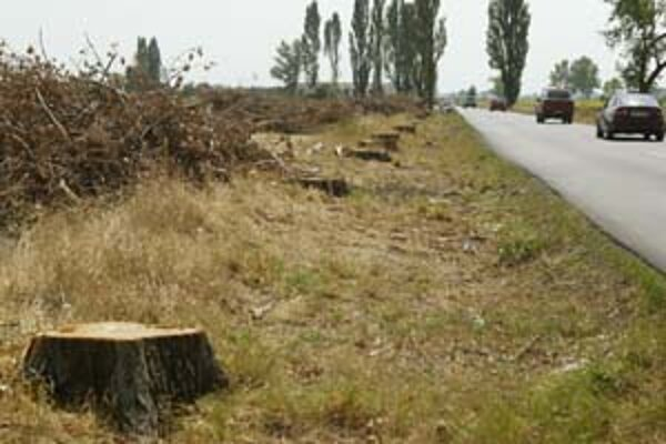 Z topoľov, čo lemovali cestu medzi Grinavou a Slovenským Grobom, ostalo len niekoľko. Desiatky z nich dala vyrúbať správa ciest, lebo konáre z nich padali na cestu.