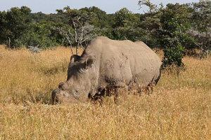 Posledný samec Sudan žije od roku 2010 v polo divokom stave.