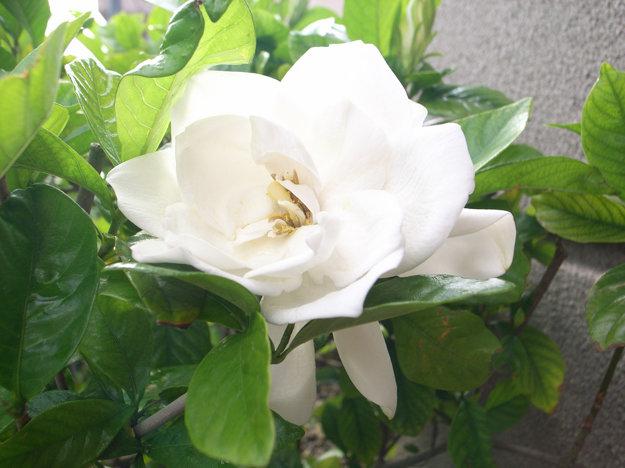 Tento druh jazmínu pripomína ružu.