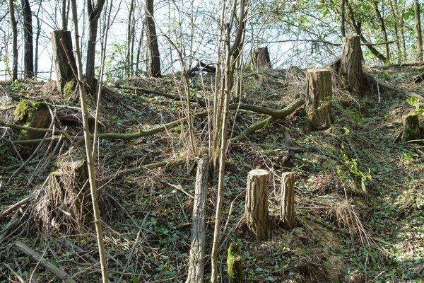 V lesíku ostali trčať približne meter vysoké pne.