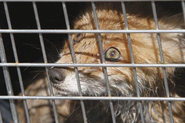Pred rokom v Šahách odchytili štyri líšky. Teraz sú tam znova.
