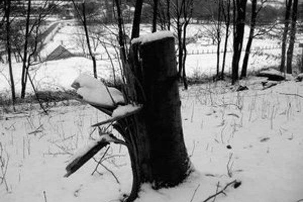 V rezervácii je zhruba každý ôsmy strom spílený.