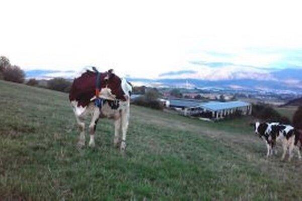 V Sklabini sú už nútení uvažovať aj nad likvidáciou stáda hovädzieho dobytka.