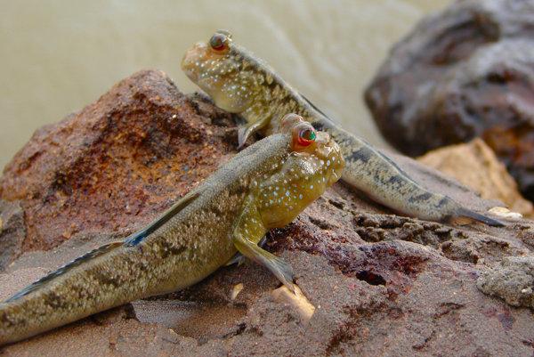 Obojživelné ryby žijú vo vode, no čas trávia aj na súši.
