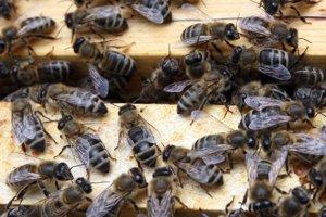 Včely. Ak sú im úle pritesné, môžu ich opustiť.