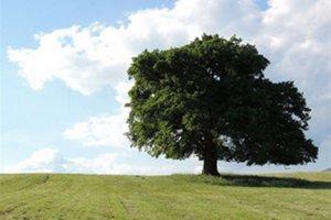 Dub letný v Mačove má v súťaži o strom roka číslo 4.