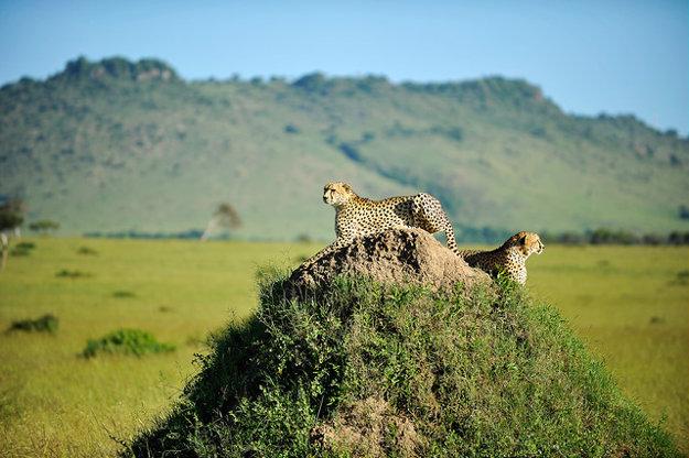 Gepard vo voľnej prírode žije iba v Afrike, nie v Južnej Amerike.
