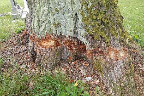 Sekerou poobtínaný peň dubu, navyše poliaty chemikáliou.