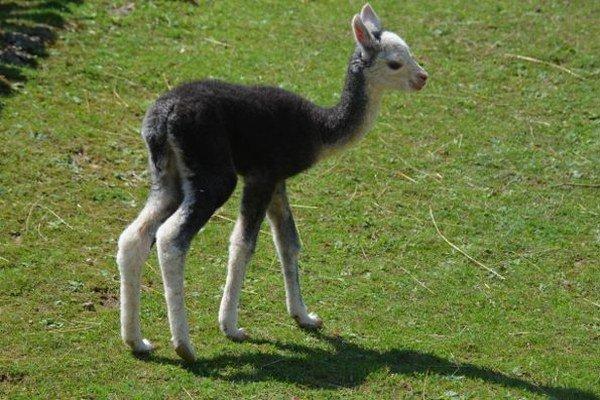 Nový prírastok. Samička lamy alpaky má iba päť dní.