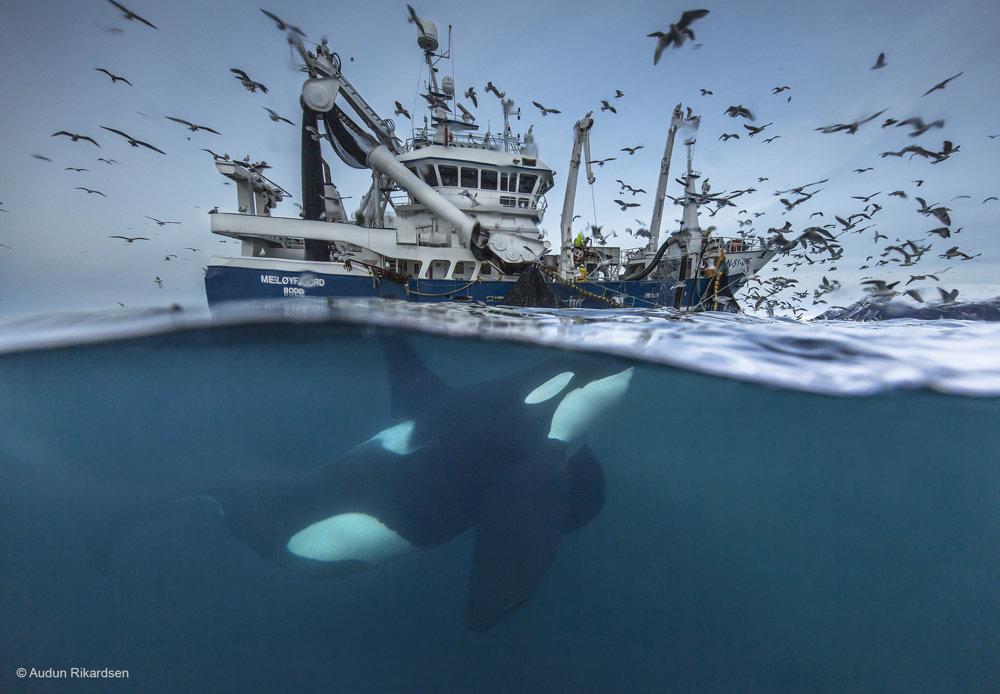Rozdelenie úlovku. V posledných rokoch začali kosatky (Orcinus orca) a veľryby prenasledovať rybárske lode. Na tejto fotke sa kosatka kŕmi sleďmi, ktoré vypadli z jej sietí. Nejde však o ideálny vzťah, pretože veľryby sa do sietí často zamotávajú a niekedy sa aj smrteľne porania.