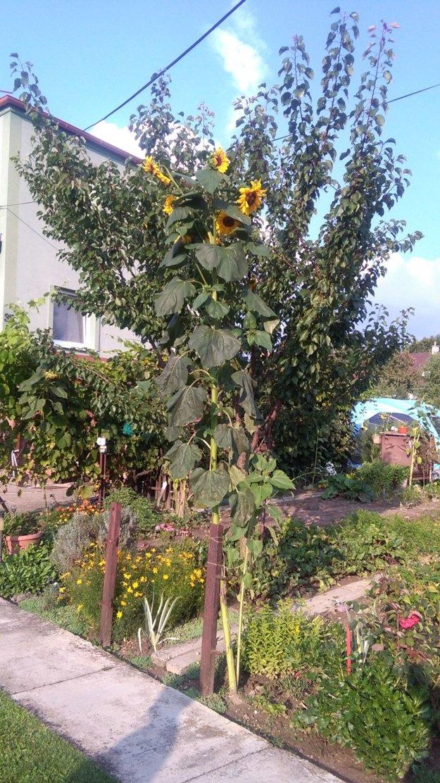 Gigantická slnečinca na záhradke pestovateľky.