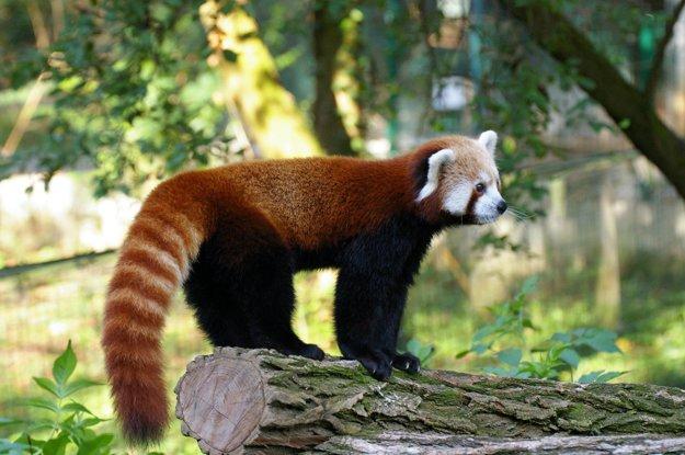 Od pandy veľkej sa líši nielen veľkosťou či sfarbením, ale i čeľaďou, patrí totiž do čeľade malých pánd.