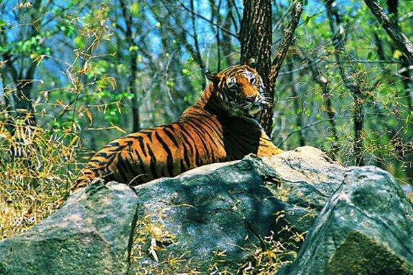 Indický tiger.