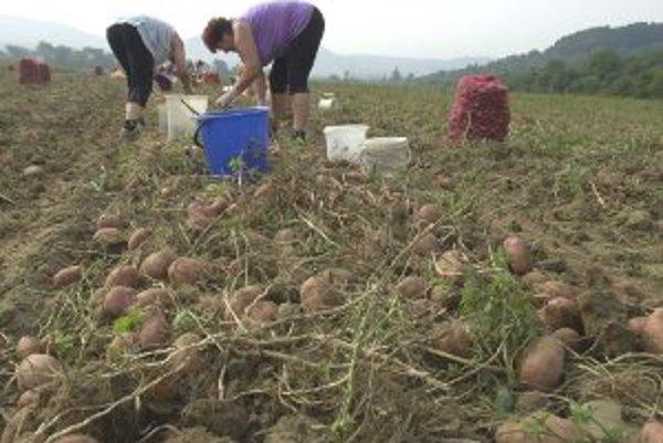 Tento rok je úroda zemiakov veľmi dobrá.