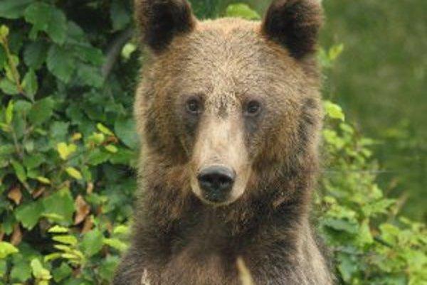 Pri stretnutí s medveďom by mal človek zostať pokojný.